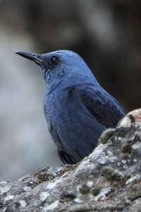 Blue Rock Thrush © Frank Wood
