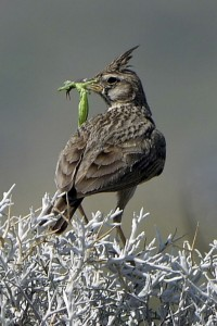 Crested Lark © Frank Wood