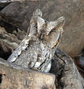 Scops Owl © Frank Wood