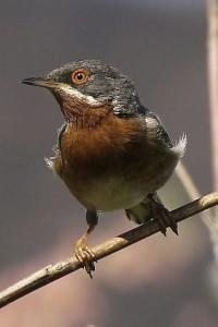 Subalpine Warbler © Frank Wood