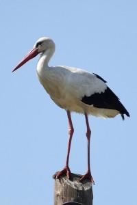 White Stork © Frank Wood