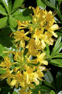 Rhododendron Luteum © Christine Aspinall