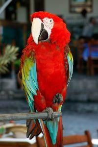 Parrot at Skala Sykaminias